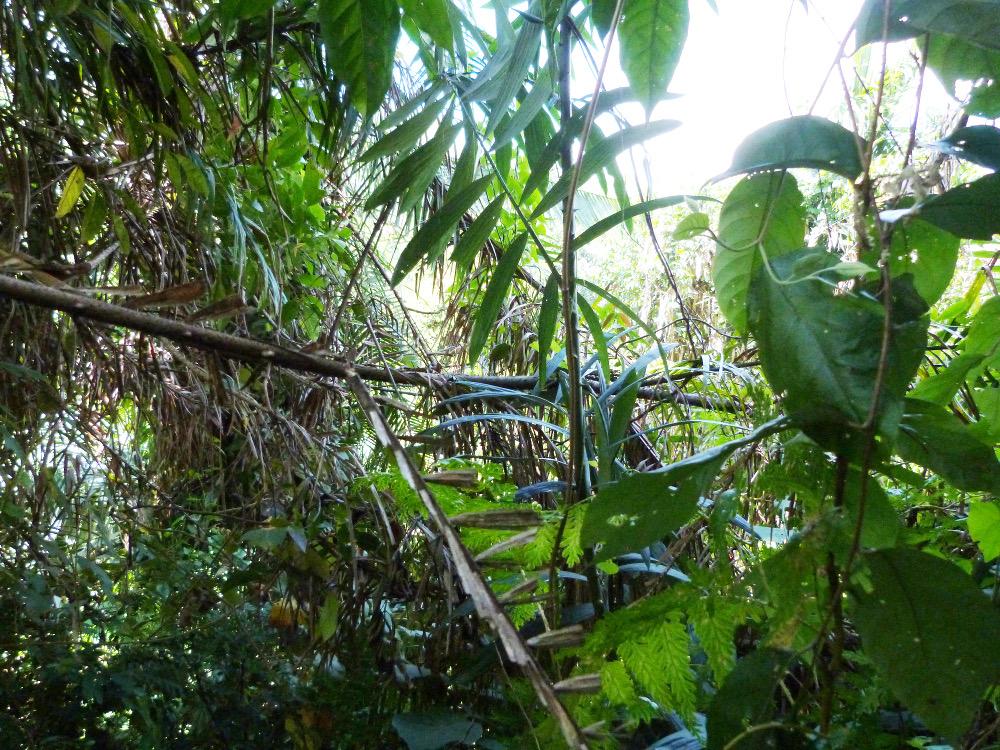 Le rotin dans la forêt tropicale